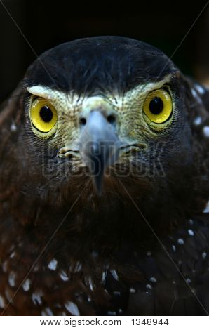 close up of an eagle with a fierce