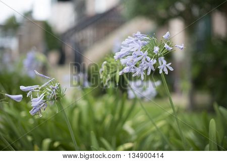 African Lily, park blurred background with blue flowers, spring flower, Shallow depth of field