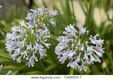 Photo of Lily of the Nile with water drops, also called African lily flower, in purple blue shade (Agapanthus) in Florida