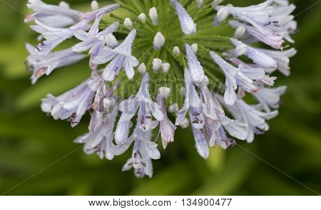 African Lily, Blue flowers with water drops after raining weather. Shallow depth of field. Close-up