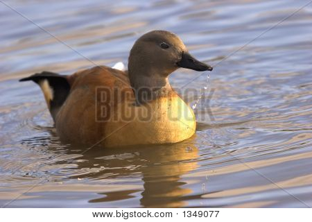this superb indian whistling duck was photographed at slimbridge wwt in the uk. poster