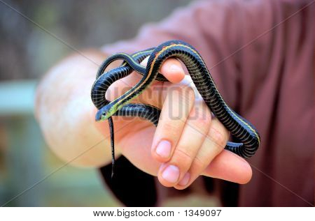 A young red-sided garter snake wrapped around a man's hand. poster