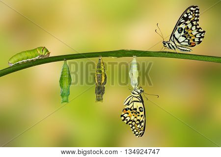 Isolated transformation of Lime Butterfly ( papilio demoleus ) poster