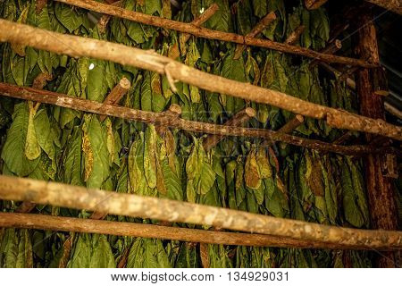 Tobacco leaves are harvested and hang to dry in the drying shed