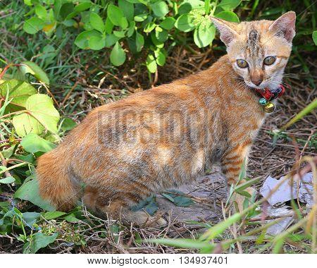 calico kitten on edge of swamp near Songkhla, Thailand
