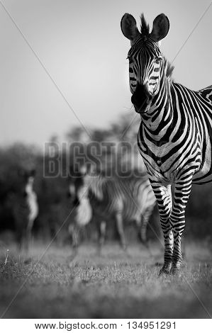 Close up of a Zebra with herd in black and white
