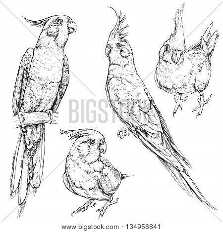 Set of cute funny cockatiel parrots. Vector illustration