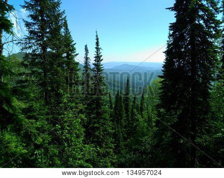 Tops of fir trees, sunny weather, summer landscape, green trees, mountains in a haze, the wild nature