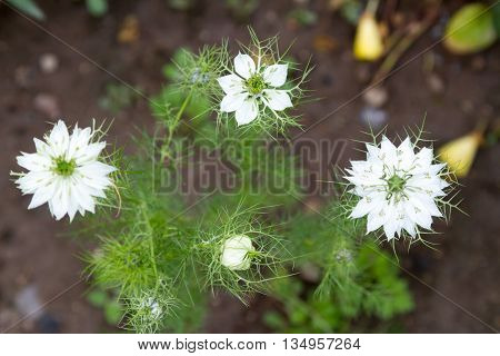 White Flower Nigella