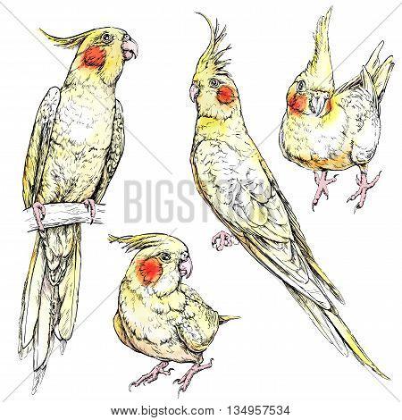 Set of cute funny cockatiel parrots. Watercolor style vector illustration