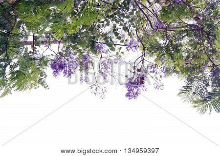 Jacaranda Tree Blossoming