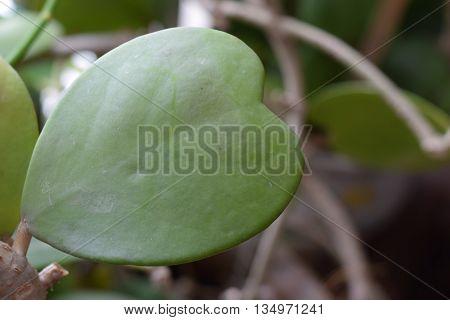 Hoya kerrii Craib in pot Sweetheart Hoya