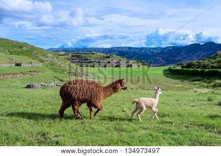 Alpaca at Sacsayhuaman in Cuzco Peru, South America
