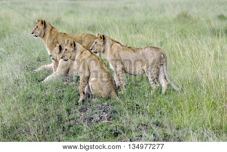 Four  lovely young lions  pay close attention to how their hunts mother lioness  in a park Tarangire, Tanzania