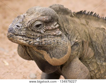 A Rhinoceros Iguana Cyclura cornuta Threatened Lizard Species Found on the Caribbean Island of Hispaniola