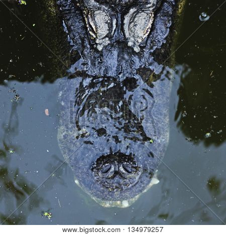 An Alligator Lurks Beneath the Water's Surface with Just its Nostrils and Eyes Showing