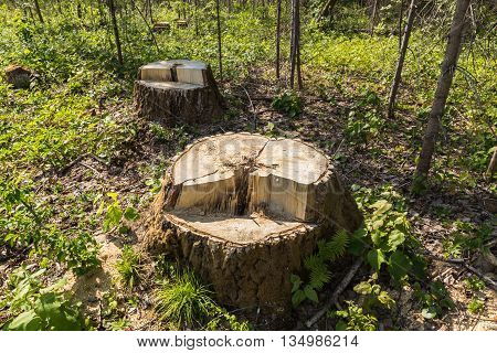birch tree stump in the forest summer