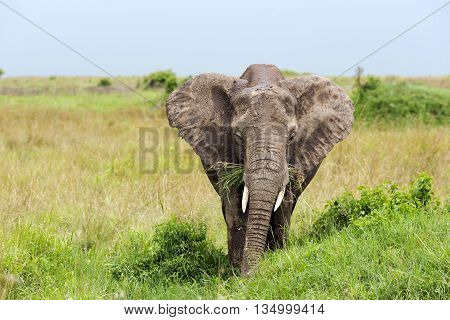 Young African bush elephant (Loxodonta africana) grazing in the meadows of the savanna in Tarangire National Park, Tanzania.