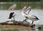 photo of three pelicans looking over to the left poster