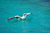 an african cape gannet waterbird (morus capensis) showing his wings and swimming in the indian ocean in south africa poster