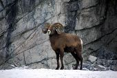 bighorn ram on the lookout in alberta canada. poster