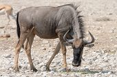 Blue Wildebeest (Brindled Gnu) seen in namibia africa. poster