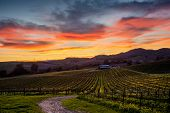 Colorful sunset over a Napa California vineyard. Spectrum of colors over Napa Valley vines in winter. Rolling hills of yellow mustard flowers. Path leads to a winery. poster