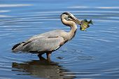 A great blue heron (Ardea herodius) catching a fish in it's beak. poster