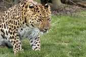 this amur leopard was photographed at the wildlife heritage foundation in the uk. poster