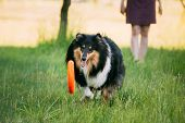 Shetland Sheepdog, Sheltie, Collie. Play With Plate Outdoor In Summer Grass At Evening. This Breed Of Herding Dog. They Are Vocal, Excitable, Energetic Dogs Who Are Always Willing To Please And Work Hard poster