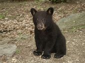 black bear cub watching me as i take his picture poster