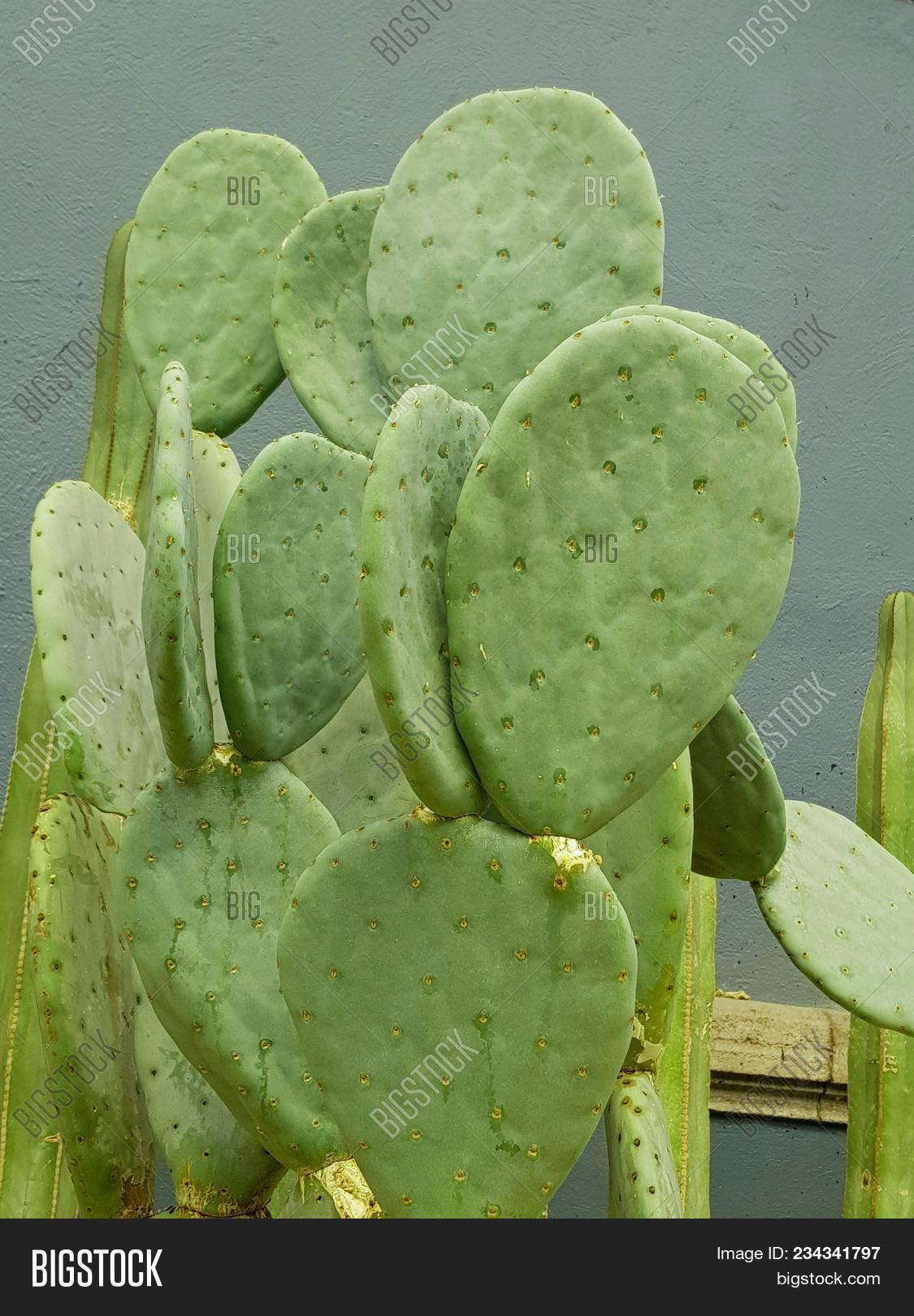 Prickly Pear Cactus, Image & Photo (Free Trial) | Bigstock