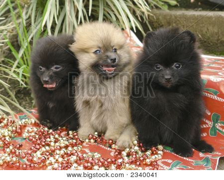 Three purebred black and brown pomeranian puppies sitting in a row poster