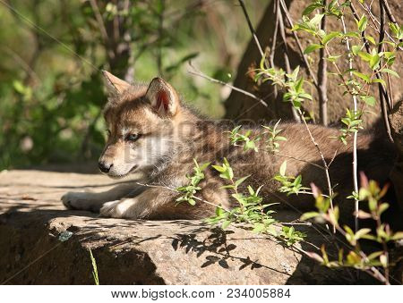 Close Up Image Of A Young Gray Wolf Pup, Alert And Focused.