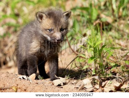 Close Up Image Of A Young, Red Fox Kit In Springtime.