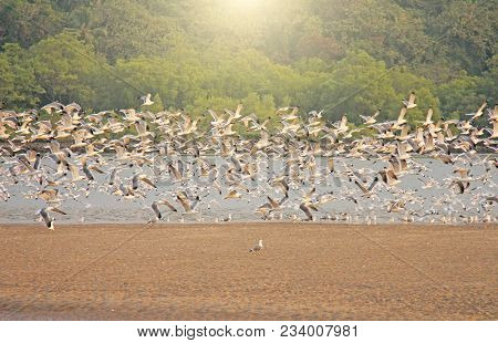 A Flock Of White Gulls Flies Over The Sea, On The Beach. A Large Flock Of Birds. Gulls In India, Goa