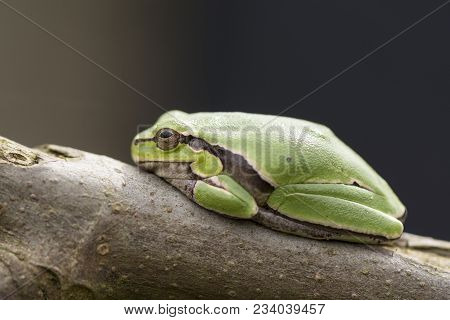 Tropical Green Tree Frog On A Fig Branch In Front Of Dark Background, Side View Point
