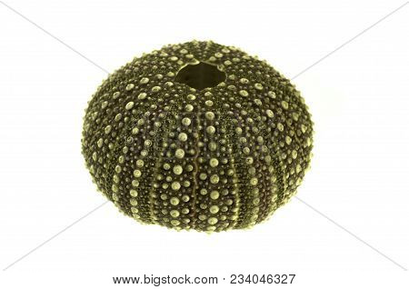 Perspective Of The Test (hard Shell) Of A Green And Regular Sea Urchin (echinoidea) Isolated Over A