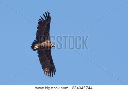 Flying Cinereous Or Black Vulture Aegypius Monachus In Extramadura Spain