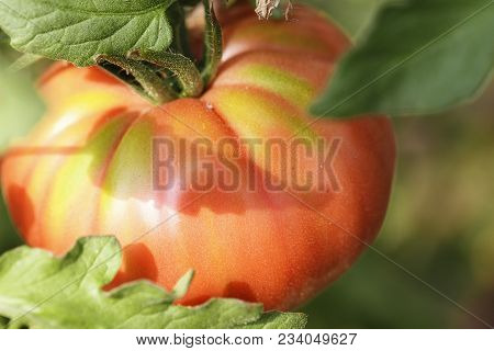Tomatoes Grow On A Branch In The Garden, Growing Farm Organic Vegetables