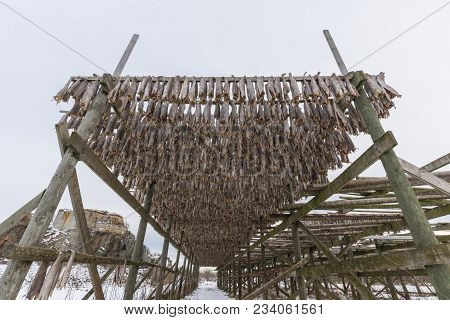 Traditional Stockfish Hanging In Vertical Pattern On Drying Rack. Cod Is Beheaded And Air Dried On W