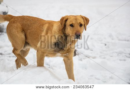 Dog walks at winter time in white snow. Snowy background, close up view, space for text.