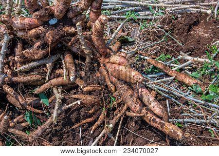 Close Up Of Cassava In Farm, Thailand.