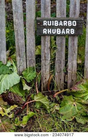 Rhubarb Growing Next To Wooden Fence, With Sign Identifying It In English And Spanish, Isla Martillo