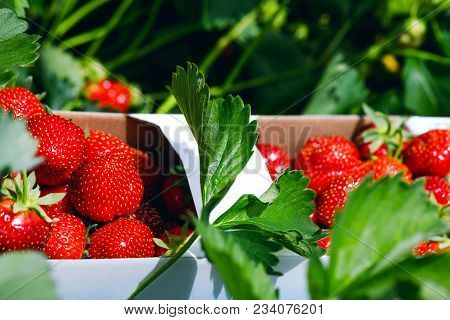 Fresh Strawberries. Appetizing And Delicious Beautiful Strawberries. Strawberry On Green Background.