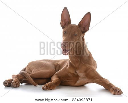 male pharoah hound licking lips on white background
