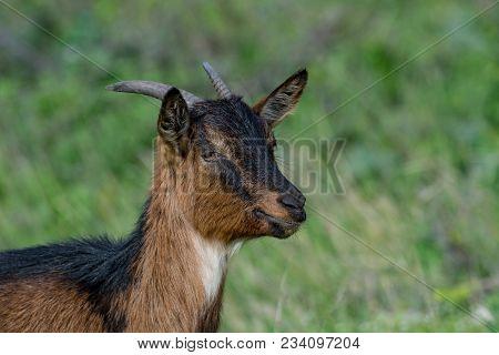 The Domestic Goat (capra Aegagrus Hircus (capra Domesticus) Is A Subspecies Of Goat Domesticated Fro