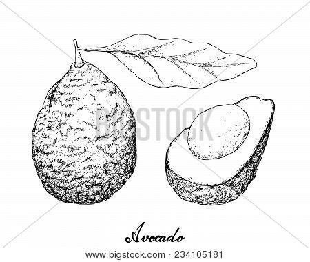 Berry Fruit, Illustration Hand Drawn Sketch Of Delicious Fresh Green Avocado Or Persea Americana Fru