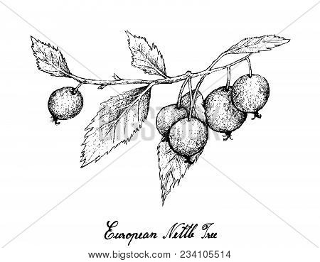 Berry Fruits, Illustration Of Hand Drawn Sketch Bunch Of European Nettle Tree, Mediterranean Hackber