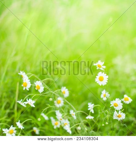 Beautiful Nature Summer Background With Selective Focus. Daisies Flowers Field. White Daisy Flowers